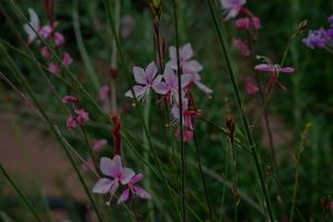 Image of pink flowers