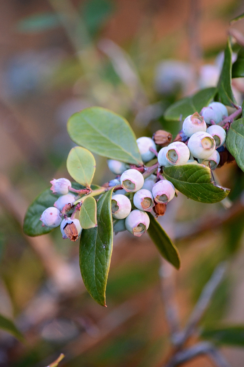 New blueberries blooming