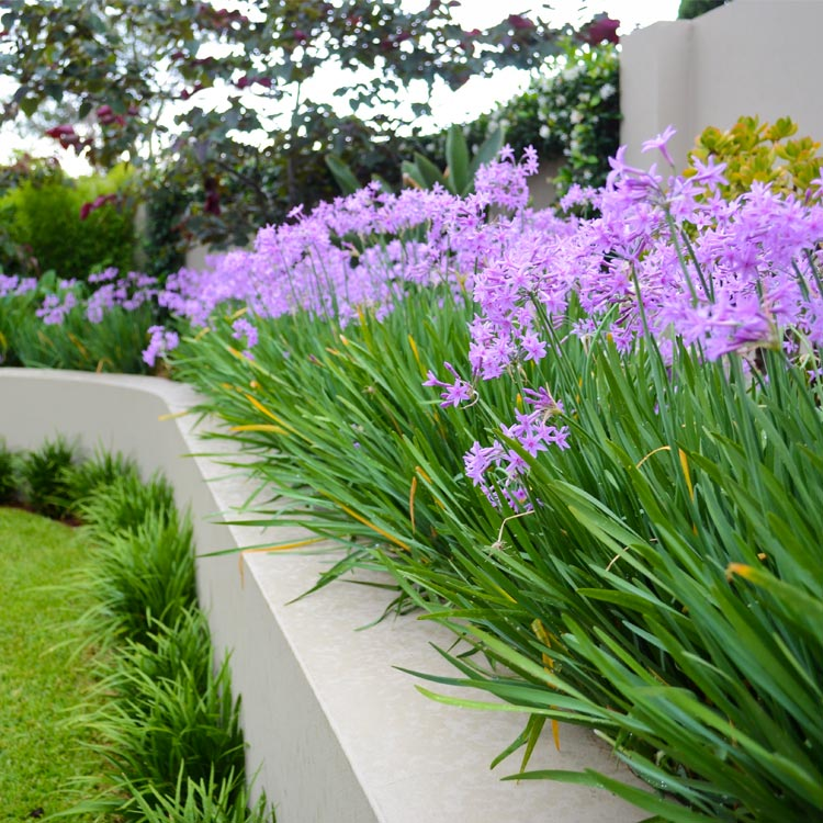Image of purple flowers in curved raised garden bed