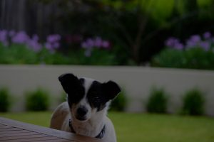 Image of a little terrier looking at the camera