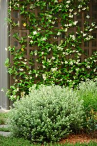 Rounded westringia shrubs with Jasmine climbers for scent