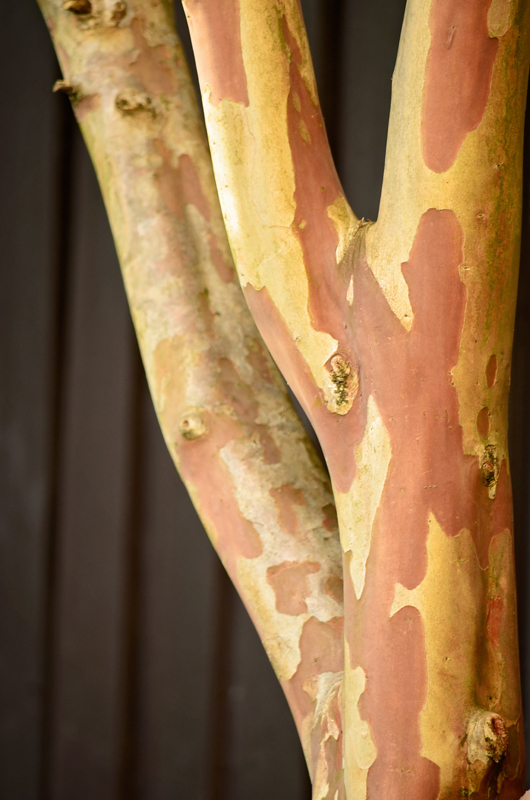 Beautiful coloured bark of Crepe Myrtle