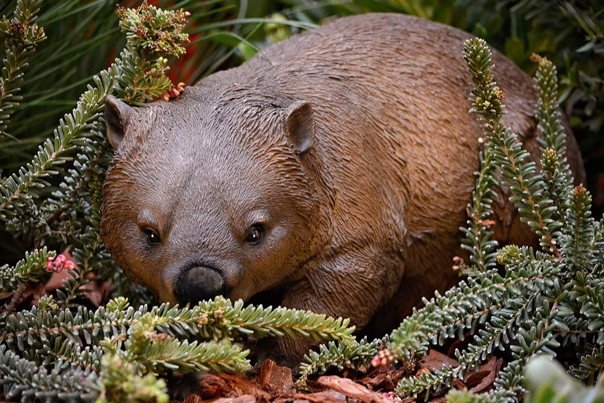 A lazy wombat exploring the woodland floor
