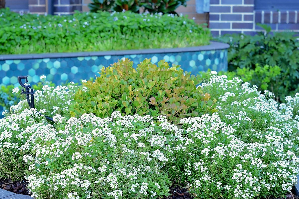 Closeup of flowering groundcovers